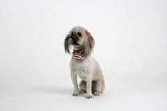Dog Sitting. Shi tzu breed looking up while sitting on white backdrop royalty free stock photo