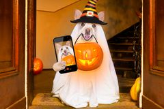 Halloween ghost dog trick or treat. Dog sitting as a ghost for halloween in front of the door at home entrance with pumpkin lantern or light , scary and spooky stock photo