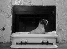 Dog sitting at attention in his coffin bed royalty free stock photos