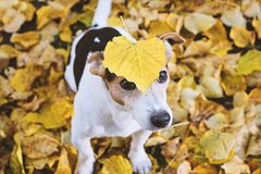 Dog sitting in autumn foliage with big yellow leaf on head royalty free stock photo