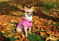 Dog Sitting in Autumn Leaves Stock Photo