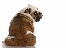 Dog sitting backwards. English bulldog sitting with backside to the camera stock photo