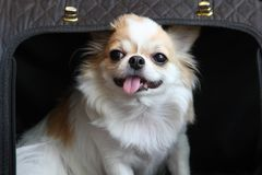 Dog sitting in the bag. White and brown female Chihuahua dog sitting in the black bag Royalty Free Stock Photo