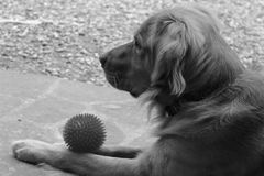 Dog sitting with a ball, black & white Stock Photography