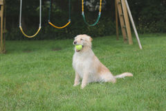 Dog sitting with ball in mouth. Dog sitting on the grass next to the playground with ball in mouth Stock Photo