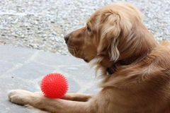 Dog sitting with a ball Stock Images