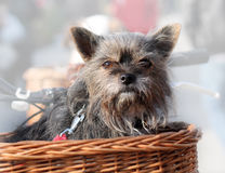 Dog Sitting in Basket Royalty Free Stock Images