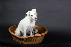 Dog sitting in a basket. Looking curious stock photos
