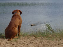 Dog sitting on beach. Dogue de bordeaux sitting on shore and dog swimming Royalty Free Stock Images
