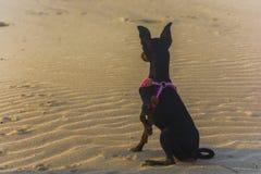 Dog sitting on the beach Royalty Free Stock Photo