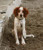 Dog sitting on the beach Royalty Free Stock Photography