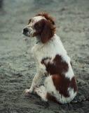 Dog sitting on the beach Royalty Free Stock Photos