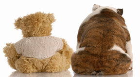Dog sitting beside best friend. Best friends - backside view of an english bulldog and a teddy bear Royalty Free Stock Photos