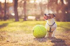 Dog sitting with big ball at park. Jack Russell Terrier resting at park after game Royalty Free Stock Photography