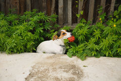 Dog sitting in the bushes of cannabis with a ball royalty free stock photography