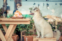 Dog sitting in cafe waiting to eat a ice snowflake Royalty Free Stock Photos