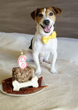 Jack russell terrier Dog sitting with cake on his sixth birthday. Royalty Free Stock Images