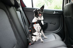 Dog Sitting In A Car. Dog With Sticking Out Tongue Sitting In A Car Seat Stock Photography