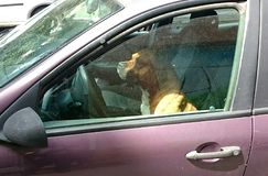 Dog sitting in the car. On the driver's  seat Stock Images