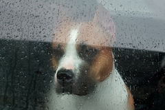 Dog sitting in a car and looking through the glass Royalty Free Stock Photo