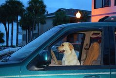 Dog sitting in a Car Stock Images