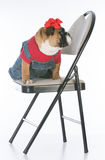 Dog sitting on chair Royalty Free Stock Photography