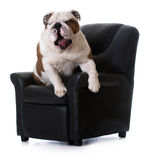 Dog sitting in chair Royalty Free Stock Images