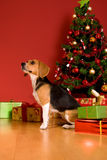 Dog sitting by Christmas tree Stock Images