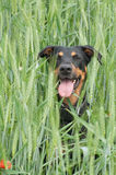 Dog sitting in the corn field Royalty Free Stock Images