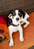 Dog sitting on the couch  selective focus Royalty Free Stock Photography