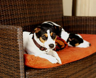 Dog sitting on the couch  selective focus Royalty Free Stock Photos