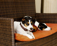 Dog sitting on the couch  selective focus Stock Images