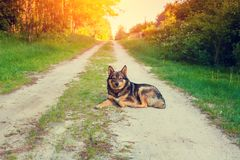 Dog lies on the road at sunset Royalty Free Stock Image