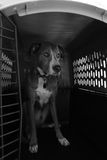 Dog sitting in Crate in Black and White Stock Images