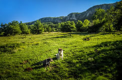 Dog sitting in dandelion field. Two dogs enjoy the outdoors. Serbia, eastern Serbia. Mountain air Royalty Free Stock Photography