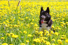 Dog sitting in dandelion. royalty free stock image