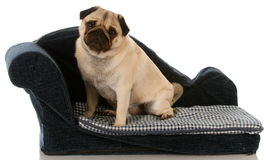 Dog sitting on dog bed Royalty Free Stock Photography