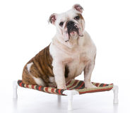 Dog sitting on dog bed Royalty Free Stock Photos