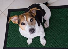 Dog sitting on door mat. Top view of adorable dog jack russell terrier sits on green door mat and looking at camera. Dog begging for walk, selective focus Stock Image
