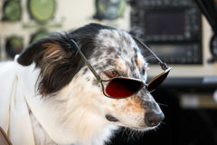 Dog sitting down wearing sunglasses and scarf in cockpit Stock Images