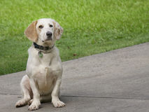 Dog sitting in driveway Royalty Free Stock Photo
