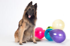 Dog sitting with eyes closed, colored balloons. Dog, Belgian Shepherd Tervuren, sitting with eyes closed, colored balloons, isolated on white studio background stock photos