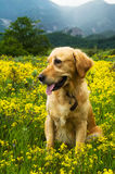Dog sitting in a field of flowers Stock Image