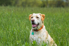 Dog sitting in field Royalty Free Stock Photos