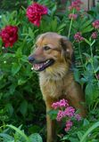 Dog sitting in flowerbed. With a happy face Stock Photography