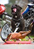 Dog is sitting in front of big turkey Royalty Free Stock Image
