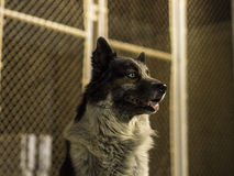 Dog sitting in front of a chainlink fence at night. Stock Photography