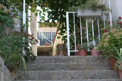 Dog sitting on the front door guarding the house. Croatia Royalty Free Stock Image