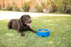 Dog sitting in front of food in bowl. Handsome chocolate labrador feeling hungry sitting with dog food bowl in park stock images