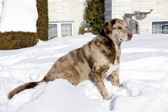 Dog sitting in front of house. Guard dog sitting in the snow in front of a white brick house Stock Image